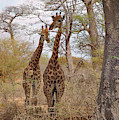 Curious Giraffes  by Mark Duehmig