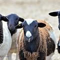 Curious Hair Sheep by Kae Cheatham