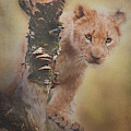 Curious Lion Cub By Tl Wilson Photography by Teresa Wilson