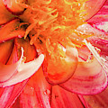 Curled Dahlia Petal by Jean Noren