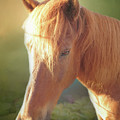 Cute Chestnut Pony by Elisabeth Lucas