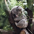 Cute Koala  by Top Wallpapers