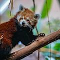 Cute Red Panda by Susan Rydberg