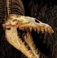 Cynthiacetus Skull 3 by Weston Westmoreland