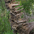 Cypress Knees Akilter by Paul Rebmann
