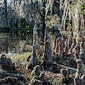 Cypress Pilgrimage by Susie Weaver