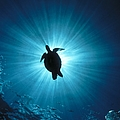 D974 Silhouette Of A Sea Turtle by Stein,erik