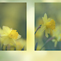 Daffodils by Karen Rispin