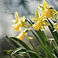 Daffodils by Olga Tremblay