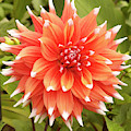Dahlia Bloom Flower by Victor Lord Denovan