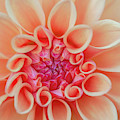 Dahlia Delight By Tl Wilson Photography by Teresa Wilson