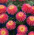 Dahlia Ryecroft Pixie Flowers by Tim Gainey