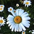 Daisies by Anna Louise