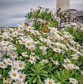Daisies At Pemaquid Point by Kristen Wilkinson