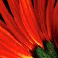 Daisy Aflame by Anita Pollak
