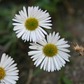 Daisy Daisy And Your White Petal Minding The Sun Core by Siobhan Dempsey