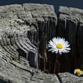 Daisy On Fence Post by Robert Potts