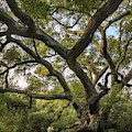 Daley Ranch - Bobcat Trail Giant Oak by Alexander Kunz