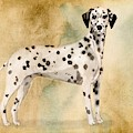 Dalmation by John Edwards