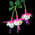 Dancing Fuchsia Abstract by Anita Pollak