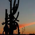 Dancing Saguaro Cactus by Rolf Jacobson
