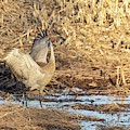 Dancing Sandhill Crane 2019-1 by Thomas Young