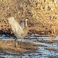 Dancing Sandhill Crane 2019-2 by Thomas Young