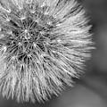 Dandelion Puff Ball - Bw by Jonathan Hansen