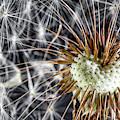 Dandelion Seed Pod by Tom Mc Nemar