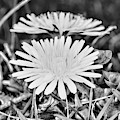 Dandelion Up Close And Personal Black And White by Paul Ward