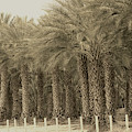 Date Palms Near Mecca California In Sepia Tones by Colleen Cornelius