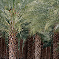 Date Palms Near Mecca California Portrait by Colleen Cornelius