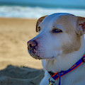 Daydreaming Dog On The Beach by Lora J Wilson