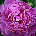 Deep Pink Peony by Anna Louise