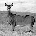 Deer In Black And White by Angela Murdock