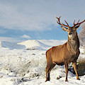 Deer In The Snow by Grant Glendinning