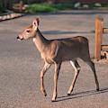 Graceful Steps of a Deer in Town