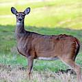 Deer Standing In A Field by Angela Murdock