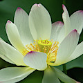 Delicate And Graceful Lotus by Sabrina L Ryan