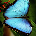 Delicate Blue Morpho Butterfly by Sabrina L Ryan