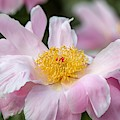 Delicate Pink Peony by Susan Rydberg
