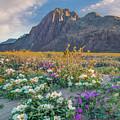 Desert Sand Verbena, Desert Sunflower by