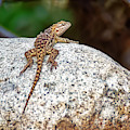 Desert Spiny Lizard H1806 by Mark Myhaver