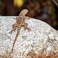 Desert Spiny Lizard H1809 by Mark Myhaver
