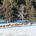 Distant Winter Elk Herd by Steve Krull