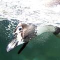 Dive Penguin Dive by David Stasiak