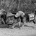Dogs Of War by Fox Photos