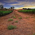Domaine Vineyards by Bill Thomas