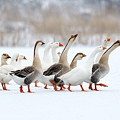 Domestic Geese Outdoor In Winter by Aabeele
