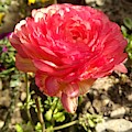 Double Coloured Rose by Nimu Bajaj and Seema Devjani